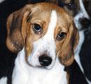 Rescued lab beagle