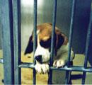 Laboratory beagle, UK