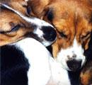 Rescued lab beagles