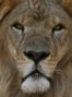 Say NO to the lion bone trade in South Africa!