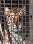 Britain's last circus lions and tigers