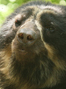 Save the Andean bear from extinction!