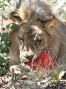 The lions who left their circus nightmare behind