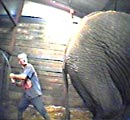 Elephant repeatedly beaten